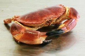 scrabstock brown crab